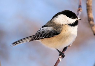 "Program – ""Songbirds of the Northeast"""